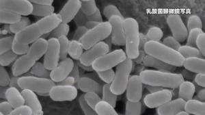 乳酸菌サプリに入っている乳酸菌のアップ写真